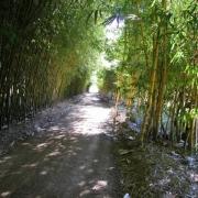 Peerless Bamboo Plants