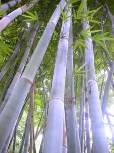 Bambusa chungii Silver Ghost