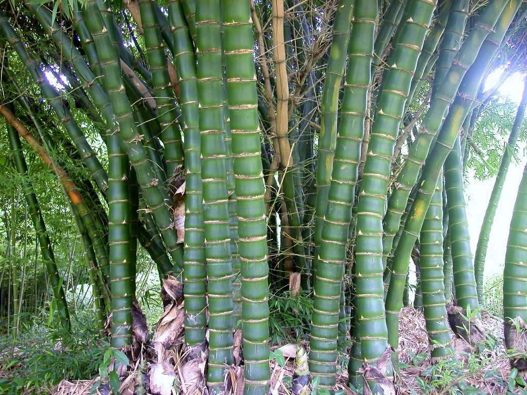 Bamboo australia plants landscaping