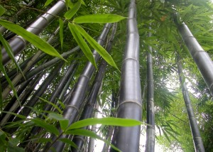 Bamboo Australia 187 Bamboo Plants Amp Landscaping
