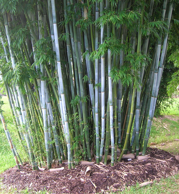 Bamboo australia clumping species