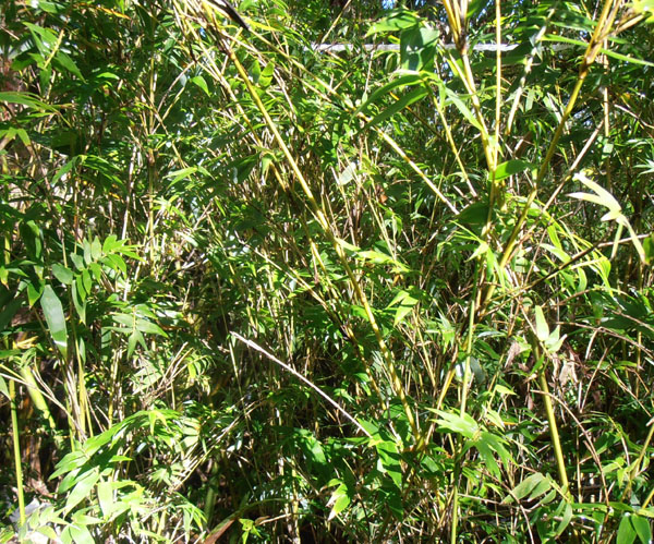 Bamboo Australia » Clumping species small & medium hedge