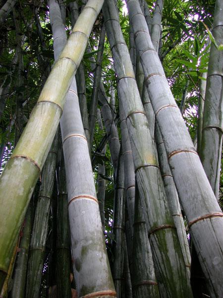 Bamboo Australia 187 Giant Bamboo
