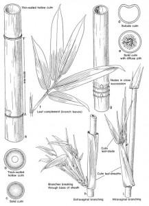 bamboo-culm