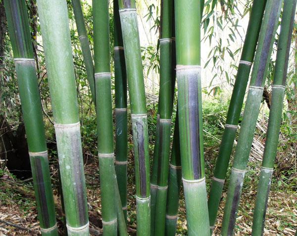 Bamboo Australia » Bamboo Plants & Landscaping