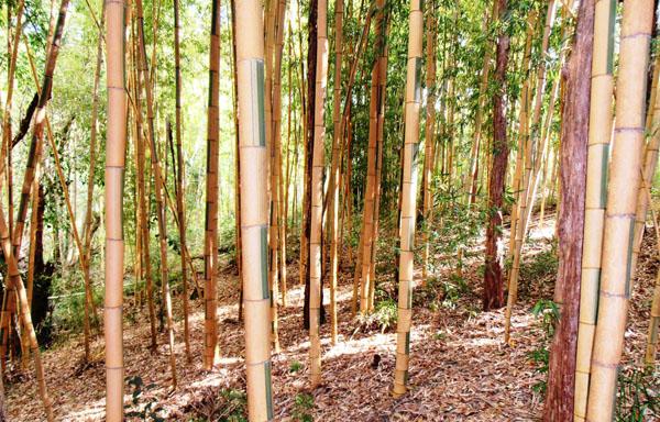 Phyllostachys-bambusoides-cv.-castilloni-Castilloni's-bamboo