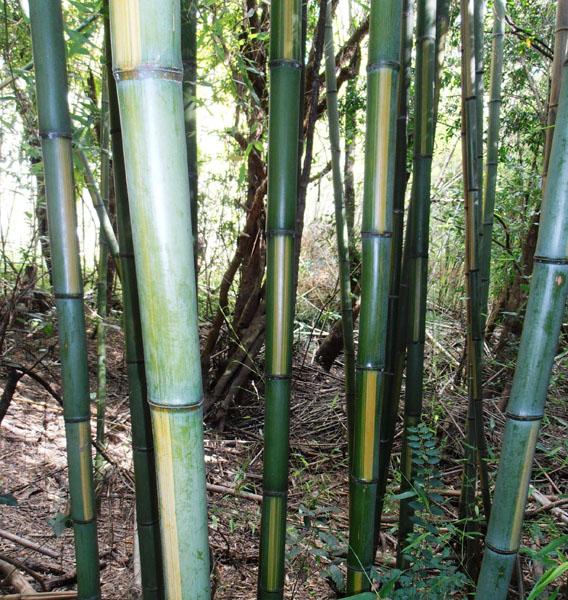 Phyllostachys-bambusoides-cv.-castilloni-inversa-Inverted-castilloni