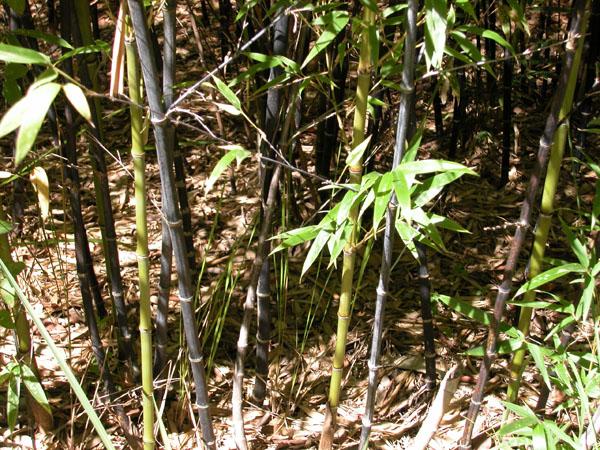 Phyllostachys nigra - (Running black)