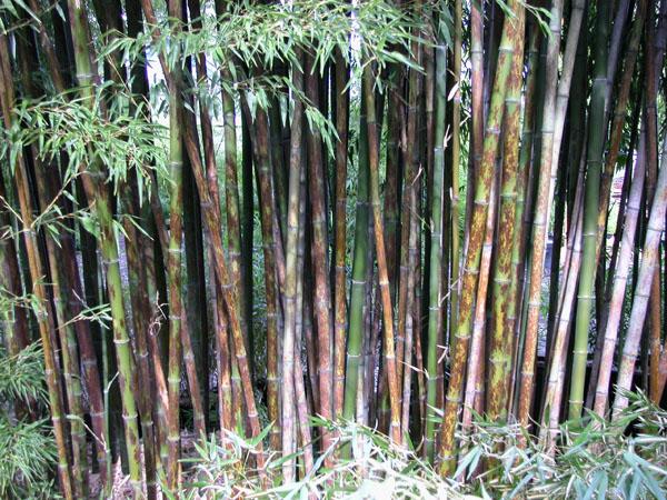 Phyllostachys nigra cv. boryana - (Leopard bamboo)