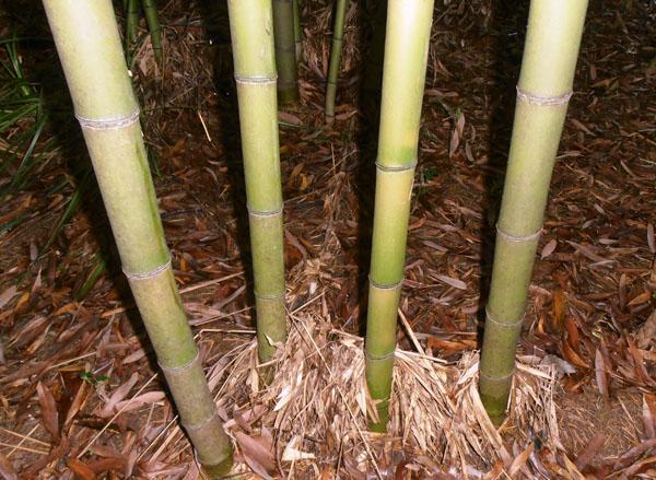 Phyllostachys-rubromarginata-Red-margin-bamboo