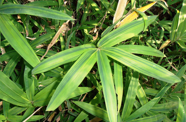Pleioblastus-viridistriatus-Dwarf-green-stripe