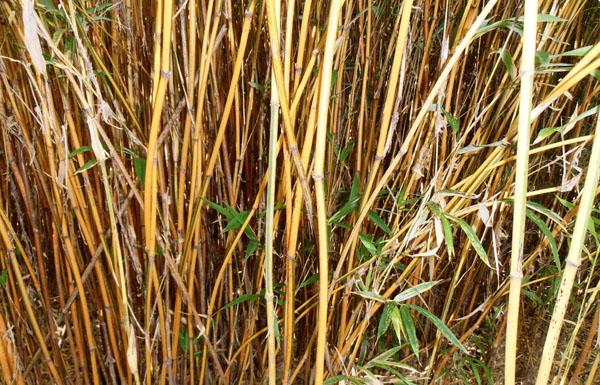 Semiarundinaria-yashadake-f.-kimmei-Narihara-bamboo