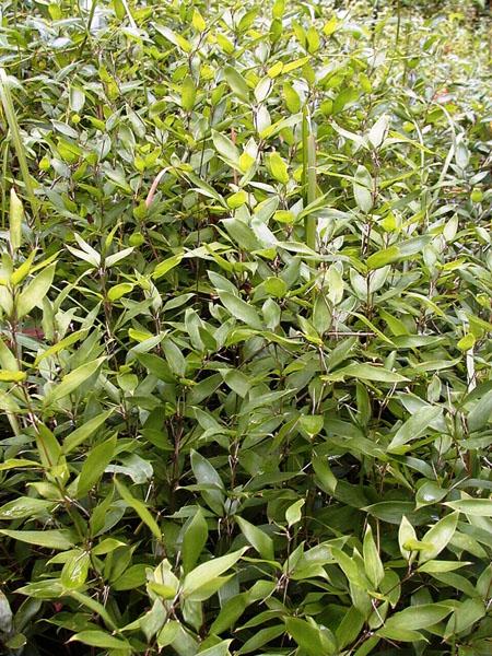 Shibatea kumasaca (Ruscus bamboo)
