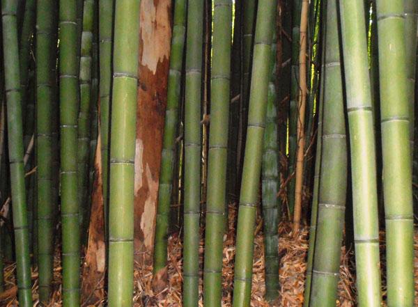 Phyllostachys-bambusoides-Medake