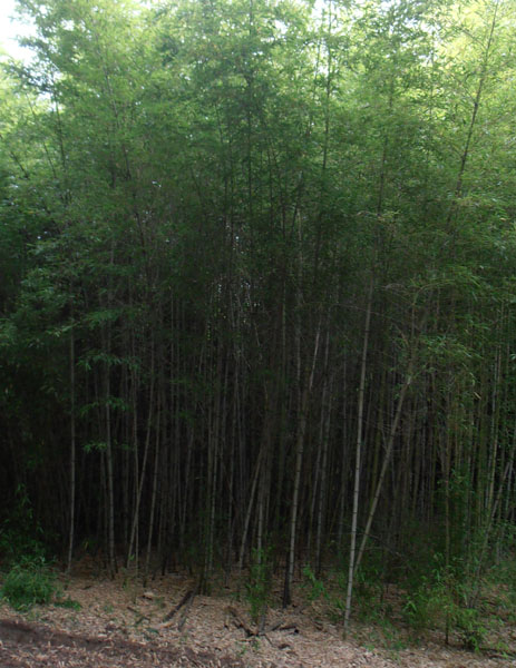 Phyllostachys-meyerii-Meyer's-bamboo