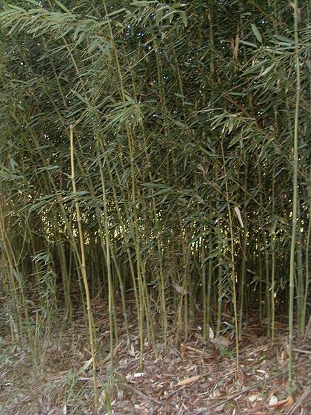 Phyllostachys nidularia (Broom bamboo)
