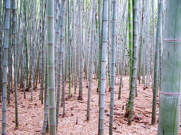 Phyllostachys pubescens (Moso)