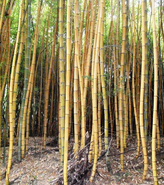 Phyllostachys-sulphurea-cv.-robert-young-Robert-young-bamboo