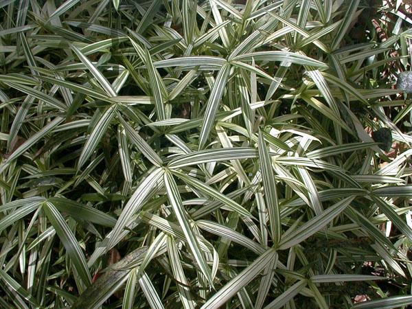 Pleioblastus fortuneii (Fortune bamboo)