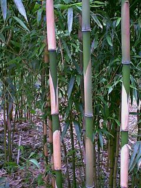 Pleioblastus simonii (Simon's bamboo)