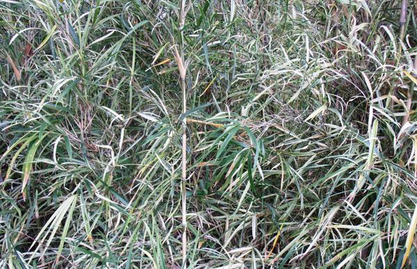 Pleioblastus-simonii-variegatus-Variegatus-Simon