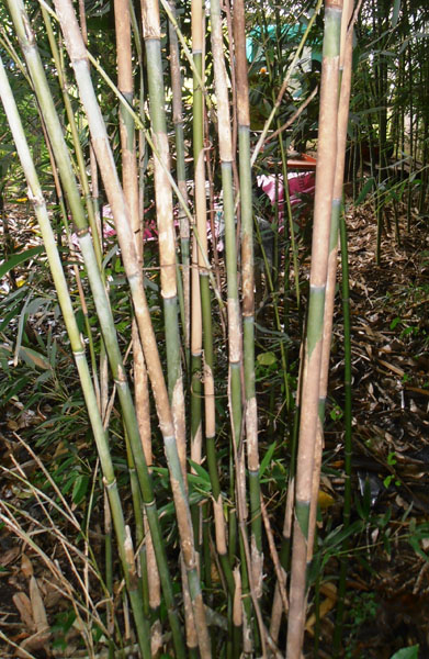 Pseudosasa-japonica-Arrow-bamboo