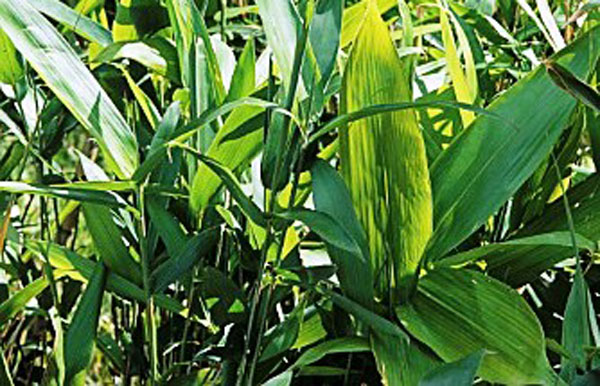 Sasa palmata (Nebulosa bamboo)