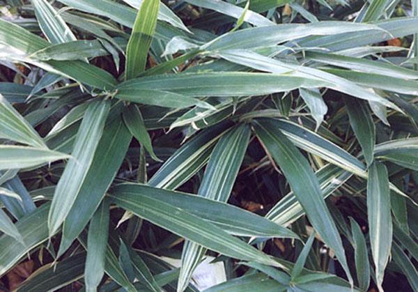 Sasaella glabra (Albostriata bamboo)