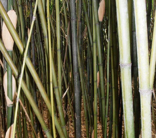 Semiarundinaria-fastuosa-viridis-Green-temple