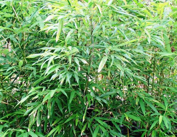 Sinobambusa-tootsik-Temple-bamboo